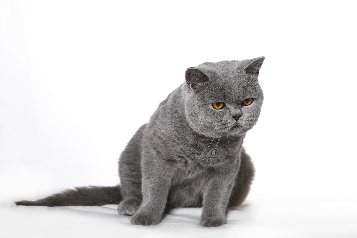 kék brit macska