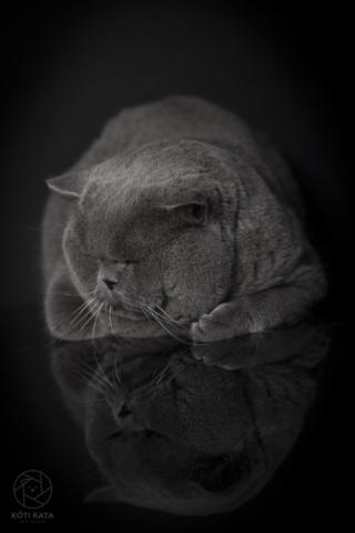 brit macska, brit cica