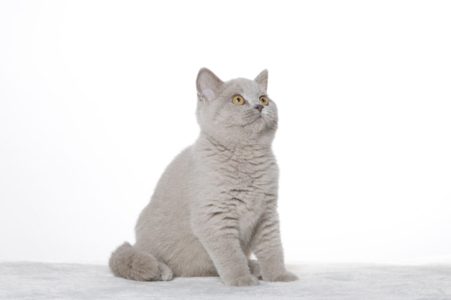 brit macska, Kóti Kata Photography
