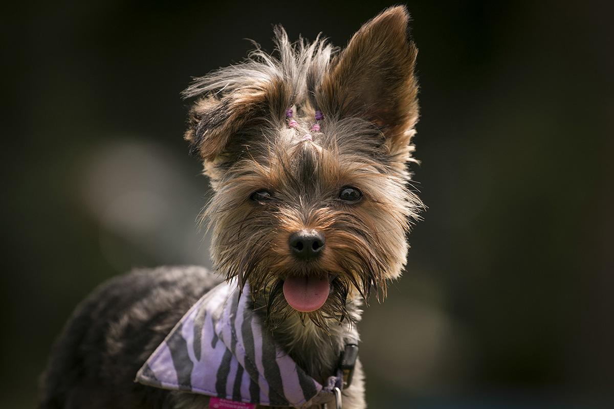 yorkshire terrier, yorkie, cuki