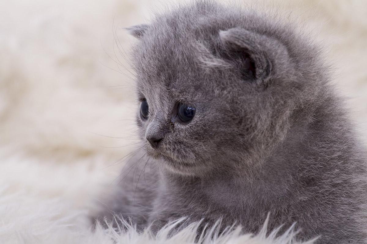 brit cica, brit macska, Kóti Kata Photography
