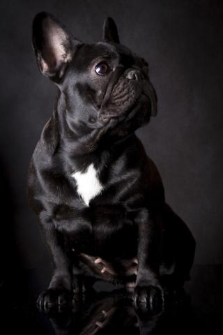 bulldog, francia bulldog