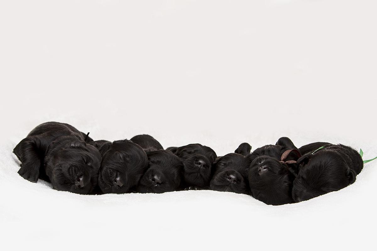 puppy, kölyökkutya, alom, tenyésztő, fotózás, alomfotózás, kutyakölyök