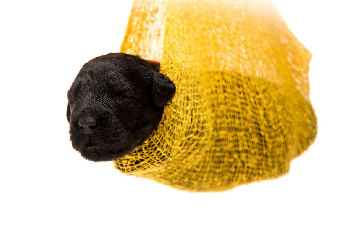 puppy, kölyökkutya, alom, tenyésztő, alomfotózás, kutyakölyök