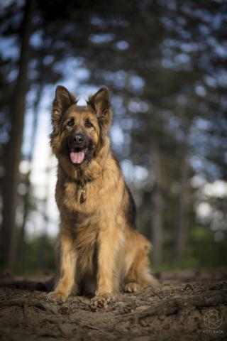 németjuhász, kutya, fotó, Kóti Kata Photography